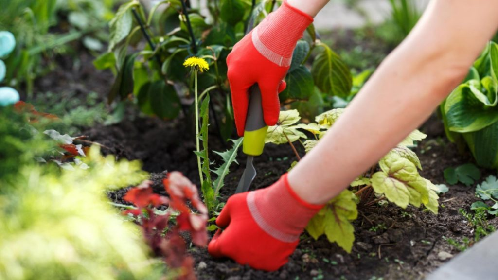 gardener learning how to kill weed in lawn