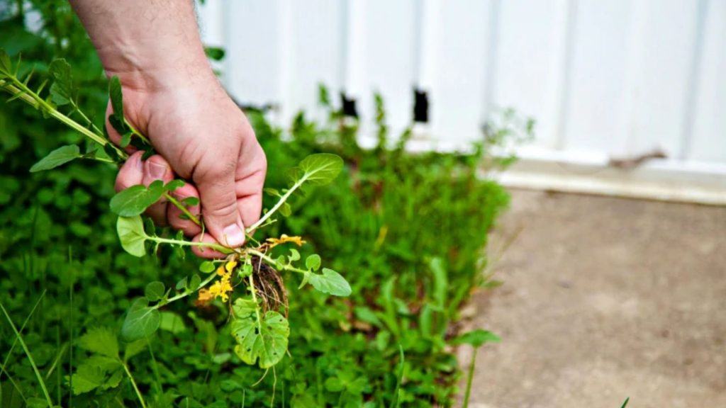kill weed in lawn by pulling weeds