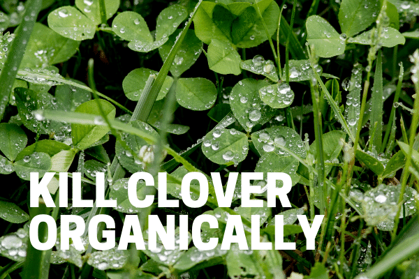 kill clover organically with best weed killer for clover lawn