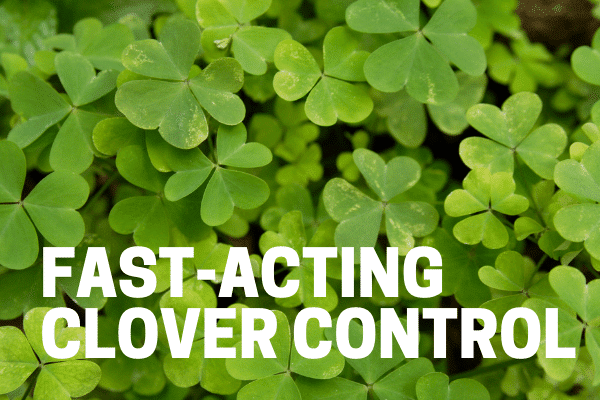 killing clover in lawn and grass with organic weed control