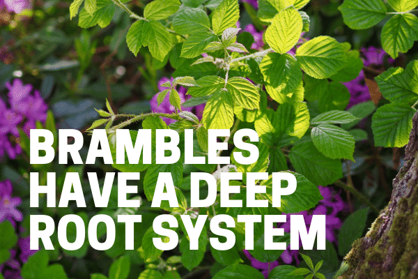 bramble weed killers attack root system