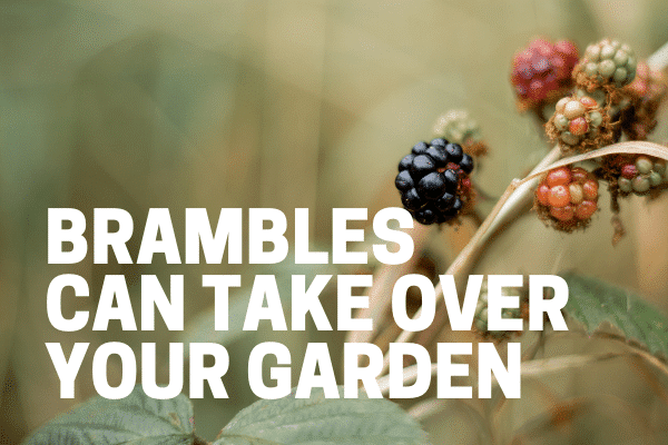 brambles taking over a landscaped bed