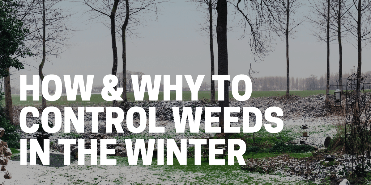 gardener learning how to kill weeds in winter