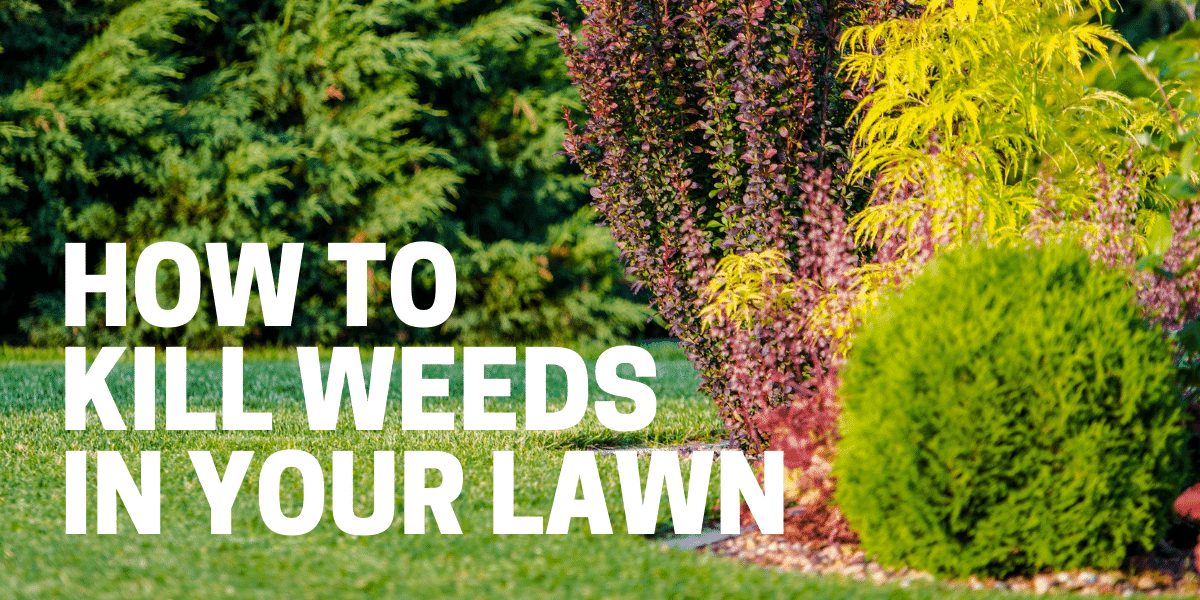 kill weed in lawn with herbicide and natural remedy