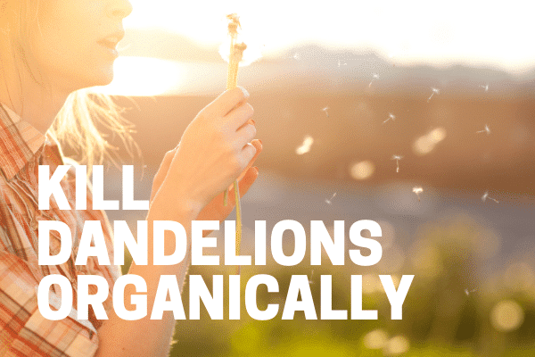 killing dandelions with organic weed killer