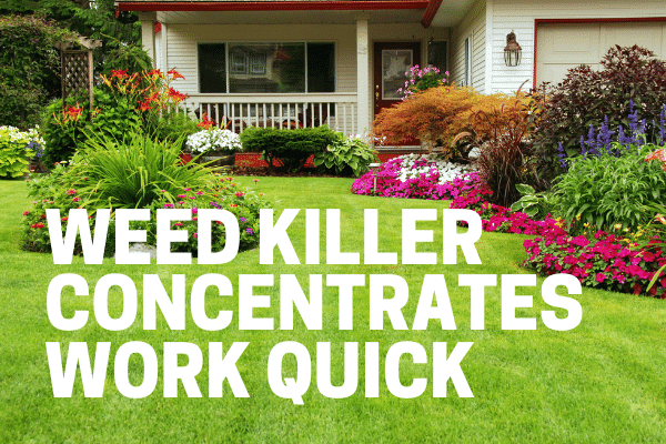 killing weeds with best concentrate