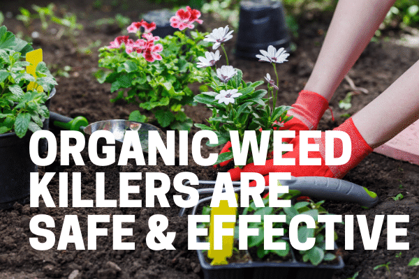 killing weeds with natural weed killer