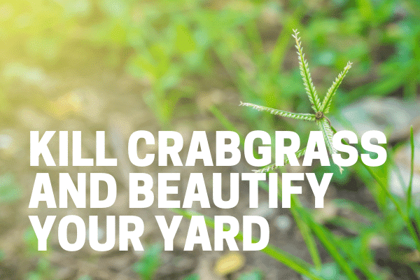 gardener killing crabgrass with herbicide on lawn