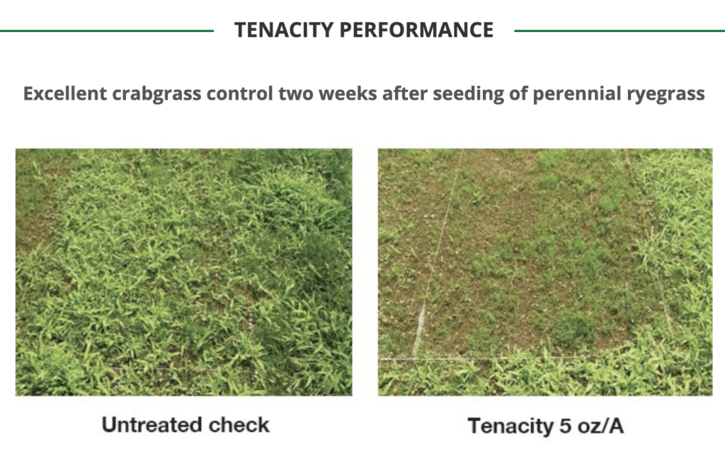 tenacity ryegrass removal before and after
